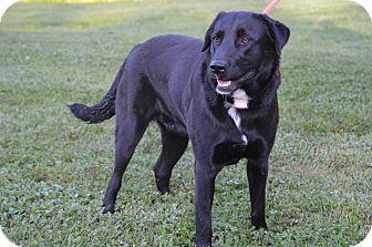 Labrador Retriever/Border Collie Mix Dog for adoption in Sparta, New Jersey - Cocoa Lee