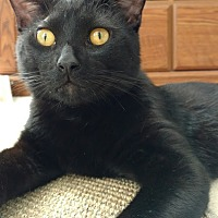 Adopt A Pet :: Inky Doodle Dandy - St. Louis, MO