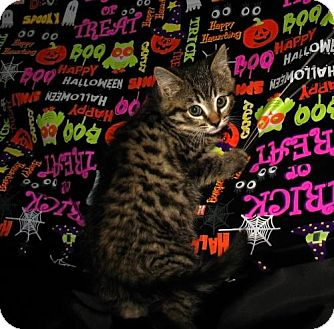 Domestic Shorthair Kitten for adoption in Norwich, New York - Cal