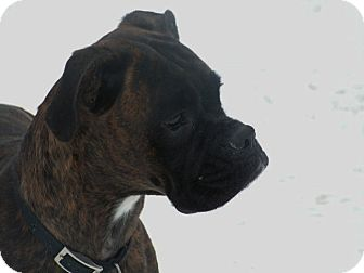 Boxer Dog for adoption in Rigaud, Quebec - Nikki