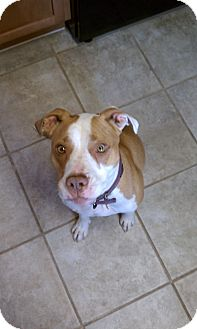 American Pit Bull Terrier Mix Dog for adoption in las cruces, New Mexico - Lea
