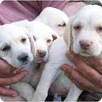 Adopt A Pet :: yellow boys - Cumming, GA