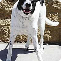 Adopt A Pet :: Duke - Gilbert, AZ