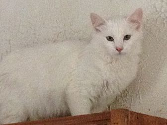 Domestic Longhair Cat for adoption in Flintstone, Maryland - Reginald