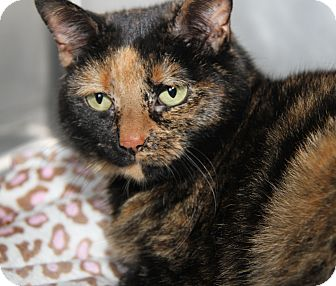 Domestic Shorthair Cat for adoption in Marietta, Ohio - Betty (Declawed & Spayed)