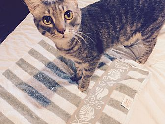 American Shorthair Cat for adoption in Houston, Texas - Icycle