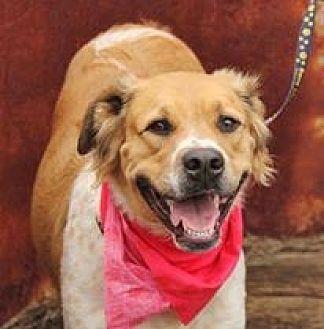 Great Pyrenees Mix Dog for adoption in Peyton, Colorado - Remi