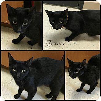 Domestic Shorthair Cat for adoption in Joliet, Illinois - Jasmine