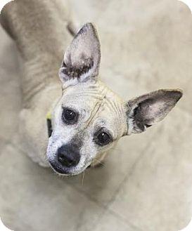 French Bulldog/Dachshund Mix Dog for adoption in Chicago, Illinois - Bailey 6 - FEE SPONSORED BY BARKWORTHIES!