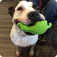Pit Bull Terrier/Bulldog Mix Dog for adoption in Paducah, Kentucky - Lola