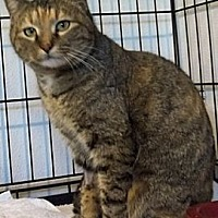 Domestic Shorthair Cat for adoption in Dallas, Texas - MUMMY