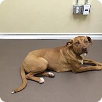 Adopt A Pet :: Kiara - McKinney, TX