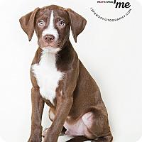 Adopt A Pet :: Apollo - Apache Junction, AZ