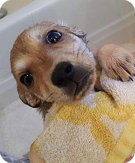 Husky/Siberian Husky Mix Puppy for adoption in Halethorpe, Maryland - Tika