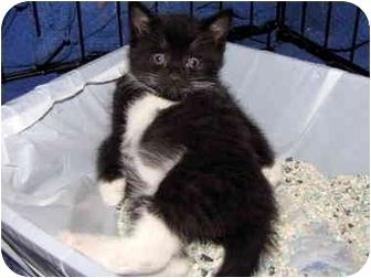 Domestic Shorthair Kitten for adoption in Randolph, New Jersey - Penelope