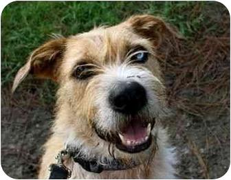 Otterhound/German Wirehaired Pointer Mix Dog for adoption in Odessa, Florida - YBOR