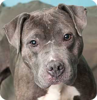 American Pit Bull Terrier Dog for adoption in Chicago, Illinois - Chloe