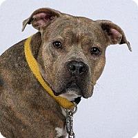 Adopt A Pet :: Big Girl - Richardson, TX