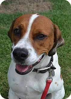 Hound (Unknown Type)/Boxer Mix Dog for adoption in Lebanon, Tennessee - Cooper