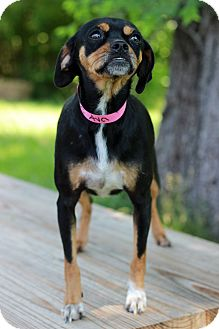 Chihuahua/Pug Mix Dog for adoption in Waldorf, Maryland - Ava
