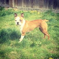 Adopt A Pet :: Bagel - Seattle, WA
