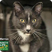Adopt A Pet :: Marcus - Oakville, ON