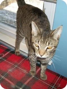 Domestic Shorthair Cat for adoption in Philadelphia, Pennsylvania - COOPER