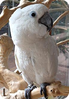 Cockatoo for adoption in Mantua, Ohio - OREO