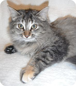Domestic Longhair Kitten for adoption in Jackson, Michigan - Cleo