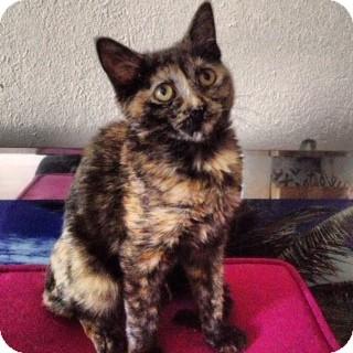Domestic Shorthair Kitten for adoption in Sunrise, Florida - Zooey
