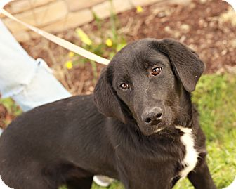 Labrador Retriever Mix Puppy for adoption in Lancaster, Ohio - Jethro