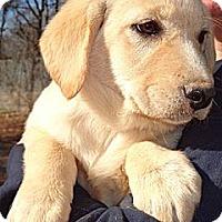 Adopt A Pet :: Shyloh - Patterson, NY