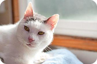 Domestic Shorthair Cat for adoption in Santa Rosa, California - Sly