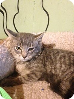 Domestic Shorthair Kitten for adoption in Bridgeton, Missouri - Parker