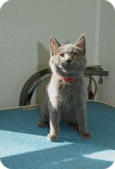 Russian Blue Kitten for adoption in Englewood, Florida - Heather Bleu