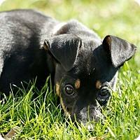 Adopt A Pet :: Piper - Columbus, OH
