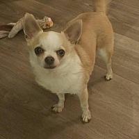 Adopt A Pet :: Shorty - Fairmont, WV