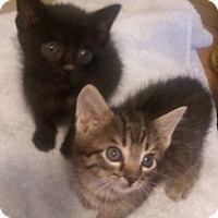 Adopt A Pet :: Susan's little kittens - Yukon, OK