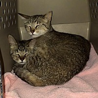 Domestic Shorthair Cat for adoption in Byron Center, Michigan - Barn Cats