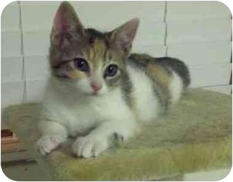 Domestic Shorthair Kitten for adoption in Davis, California - Penelope