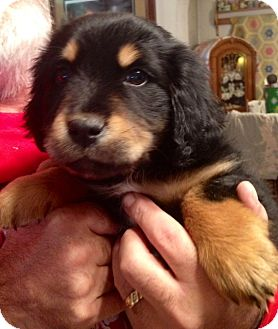 Golden retriever mix puppies for sale in ct