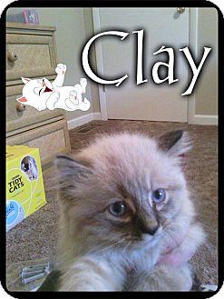 Himalayan Cat for adoption in Washington, D.C. - Clay