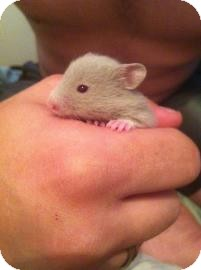 Hamster for adoption in Edmonton, Alberta - Rogue
