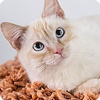 Adopt A Pet :: Raj - Eagan, MN