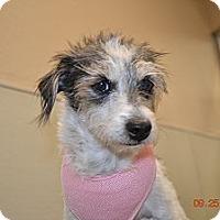 Adopt A Pet :: Polly - Gilbert, AZ