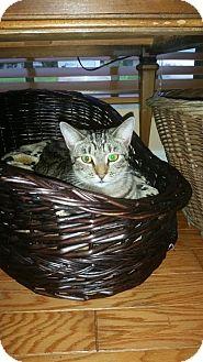 Domestic Shorthair Cat for adoption in Fort Pierce, Florida - Arya