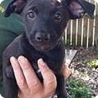 Adopt A Pet :: Sierra Fox - Gainesville, FL