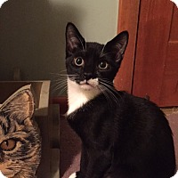Adopt A Pet :: Domino (LE) - Little Falls, NJ