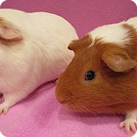 Adopt A Pet :: Smoochums - Steger, IL