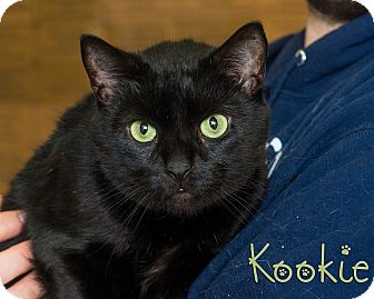 Domestic Shorthair Cat for adoption in Somerset, Pennsylvania - Kookie